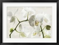 Framed Ivory Orchids
