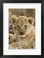 Framed Okavango Delta, Botswana A Close-Up Of A Lion Cub
