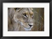 Framed Okavango Delta, Botswana Close-Up Of A Female Lion