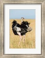 Framed Kenya, Maasai Mara. Masai Ostrich