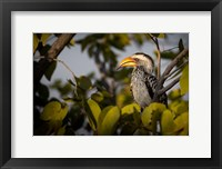 Framed Etosha National Park, Namibia, Yellow-Billed Hornbill Perched In A Tree