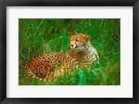 Framed Cheetah Lying In Grass On The Serengeti