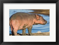 Framed Reddish Very Young Hippo Stands On Shoreline Of Lake Ndutu