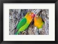 Framed Two Fischer's Lovebirds Nuzzle Each Other, Tanzania