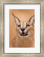 Framed Livingstone, Zambia Portrait Of A Caracal