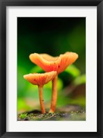 Framed Bright Orange Mushrooms, Queensland Rainforest At Babinda, Australia