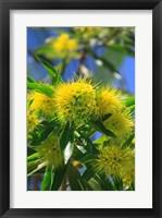 Framed Bright Yellow Wattle Tree In Suburban Cairns, Queensland, Australia