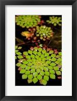 Framed Geometric Plant, Cairns Botanic Gardens, Queensland, Australia
