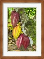 Framed Cuba, Baracoa Cacao Pods Hanging On Tree