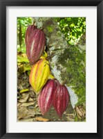 Framed Cuba, Baracoa Cacao Pods Hanging On Tree