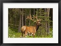 Framed Bull Elk, Bow Valley Parkway, Banff National Park, Alberta, Canada