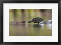 Framed Canada, British Columbia A Common Loon & Chick At Lac Le Jeune