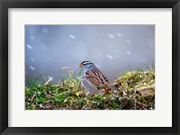 Framed White-Crowned Sparrow In A Spring Snow Storm