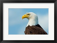 Framed Bald Eagle At Bowron Lake In Bowron Lake Provincial Park, BC