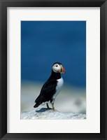 Framed Atlantic Puffin, Machias Seal Island, Canada