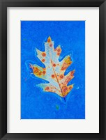 Framed Canada, Quebec, Mount St Bruno Conservation Park Red Oak Leaf Caught In Ice
