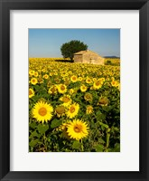 Framed France, Provence, Old Farm House In Field Of Sunflowers