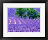 Framed France, Provence, Lavender Field On The Valensole Plateau