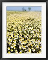 Framed Chamomile Field (Matricaria Chamomilla), Hortobagy National Park In Spring Hungary