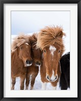 Framed Icelandic Horses With Typical Thick Shaggy Winter Coat, Iceland 12