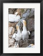 Framed Northern Gannet, Hermaness Bird Reserve, Unst Island, Scotland