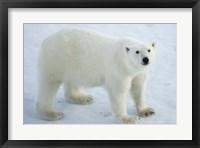 Framed Greenland, Scoresby Sound, Polar Bear Standing On Sea Ice