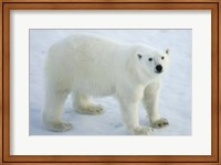 Framed Greenland, Scoresby Sound, Polar Bear Standing On Sea Ice
