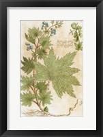 Framed Aconitum Seventeenth-Century Engraving In Bibliotheca Pharmaceutica-Medica