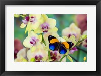 Framed Brush-Footed Butterfly, Callithea Davisi On Orchid