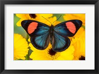 Framed Painted Beauty Butterfly From The Amazon Region
