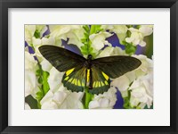 Framed Belus Swallowtail Butterfly On White And Yellow Snapdragon Flower