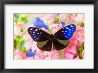 Framed Butterfly The Striped Blue Crow