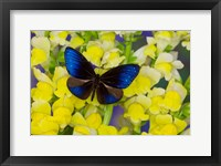 Framed Blue Crow Butterfly