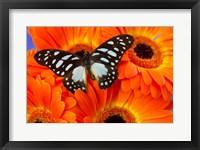 Framed Veined Swordtail Butterfly