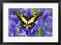 Framed Electric Green Swallowtail Butterfly