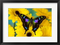 Framed Purple Spotted Swallowtail Butterfly