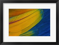 Framed Scarlet Macaw Wing Covert Feathers 1