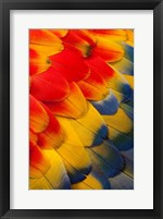 Framed Scarlet Macaw Wing Covert Feathers 2