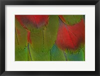 Framed Breast Feathers Of Harlequin Macaw