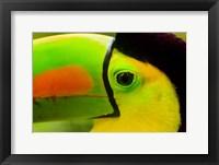 Framed Keel-Billed Toucan, Belize City, Belize