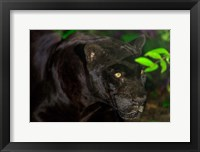 Framed Black Jaguar, Belize City, Belize