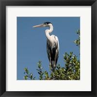 Framed Brazil, Pantanal, Cocoi Heron