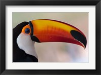 Framed Brazil, The Pantanal Wetland, Toco Toucan In Early Morning Light