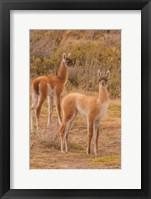Framed Chile, Patagonia, Tierra Del Fuego Young Guanacos