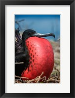 Framed Magnificent Frigatebird Male With Pouch Inflated, Galapagos Islands, Ecuador