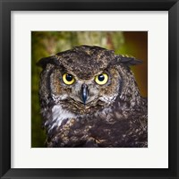 Framed Alaska Raptor Center, Sitka, Alaska Close-Up Of A Great Horned Owl