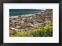 Framed Northern Elephant Seals Sun Bathing In Cali