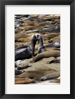 Framed Northern Elephant Seals Fighting, California