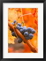 Framed Dew Covered Grapes In Napa Valley