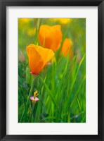 Framed California Golden Poppies